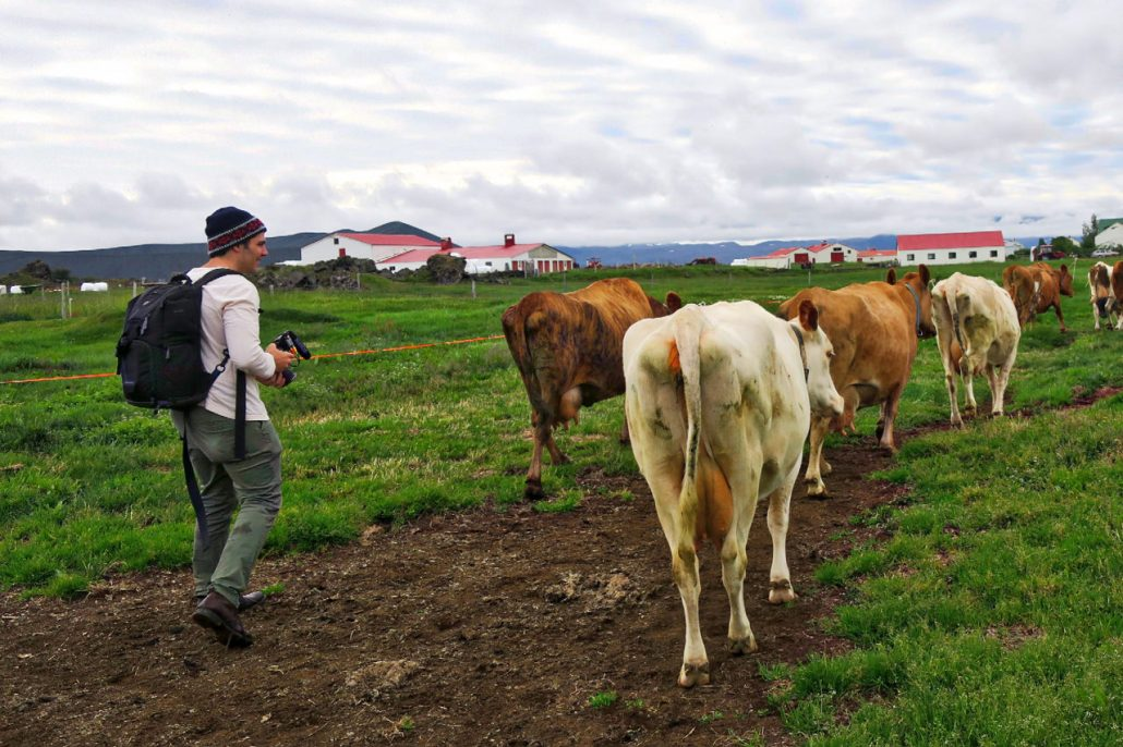 Pan follows cows to pasture after morning milking.