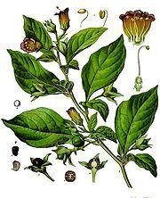 Atropa Belladonna (DEADLY NIGHTSHADE) Seeds