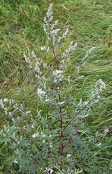 Artemisia Vulgaris  (MUGWORT) Seeds