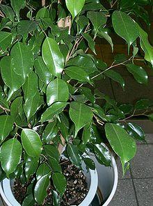 Ficus Benjamina (Weeping Fig Tree) Seeds