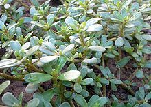 Portulaca Oleracea (Gruner Red Purslane) Seeds