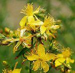 Hypericum Perforatum (St. John?s Wort) Seeds
