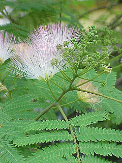 Albizzia Julibrissen    (SILK TREE MIMOSA) Seeds
