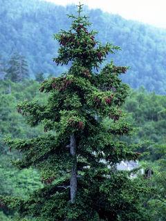 Picea Jezoensis (Jezo Spruce / Yezo Spruce) Seeds