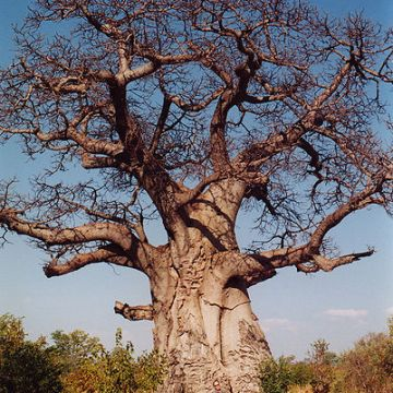 Adansonia Digitata (BAOBAB  / MONKEY BREAD TREE) Seeds