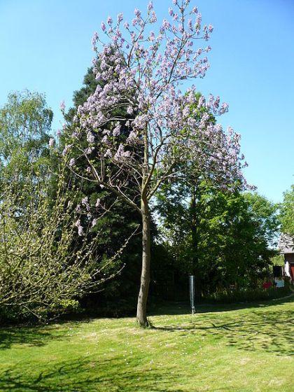 Paulownia Tomentosa (Empress Tree) Seeds