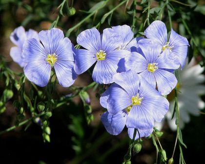 Linum Usitatissimum (Flax) Seeds