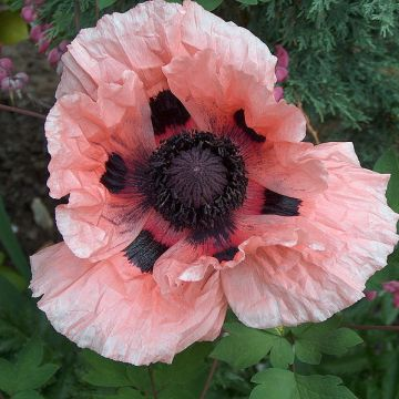 Papaver Orientale (Oriental Poppy Mix) Seeds