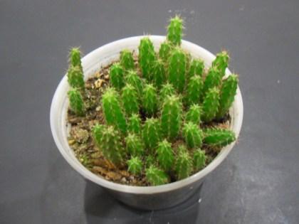 Trichocereus Bridgesii (Achuma Cactus) - Live Plant Seedling