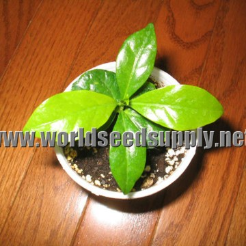 Coffea Kona (HAWAIIAN COFFEE) Seeds