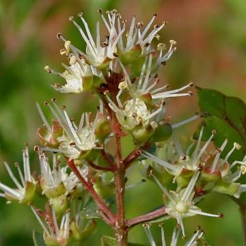 Lawsonia Inermis  (Henna) Seeds