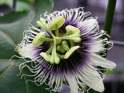 Passiflora Edulis (Passion Fruit) - Live Plant