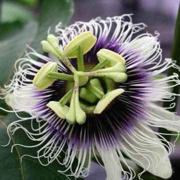 Passiflora Edulis (Passion Fruit) - Live Plant