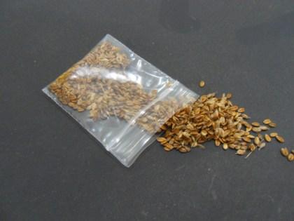 Heirochloe Odorata (Sweet Grass) Seeds