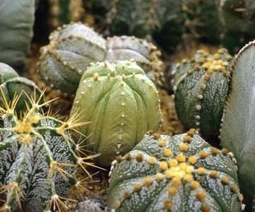 Astrophytum Hybrid Mix Seeds