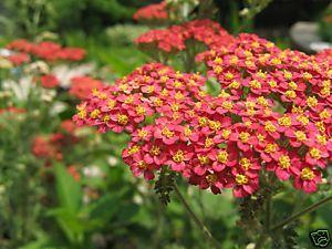 Achillea Millefolium 'Rubra'  (RED YARROW) Seeds