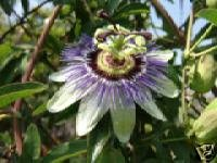 Passiflora Caerulea (Blue Passion Flower) Seeds