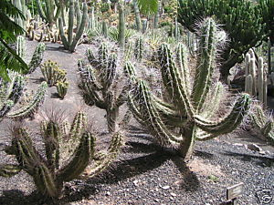 Stetsonia Coryne (Toothpick Cactus) Seeds