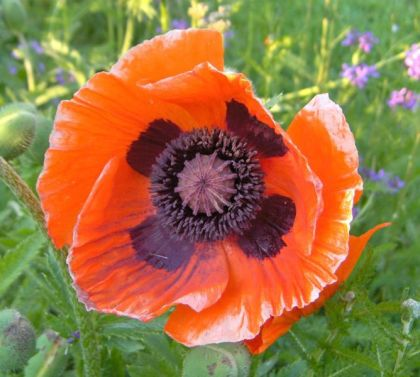 Papaver Orientale (Oriental Poppy) 10:1 Resin Extract