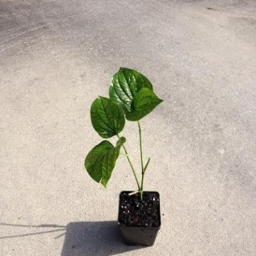 Piper Nigrum (Black Pepper / Peppercorn) Plant - Live Plant