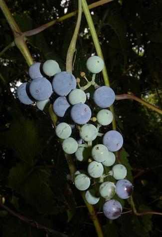 Vitis Riparia (River Bank Grape / Frost Grape) Seeds