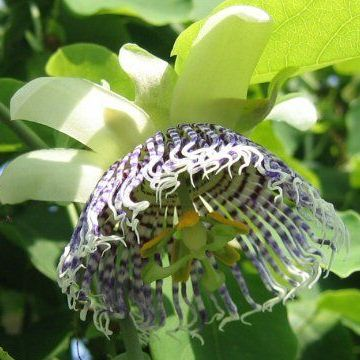 Passiflora Actinia (Sea Anemone Passion Flower) Seeds