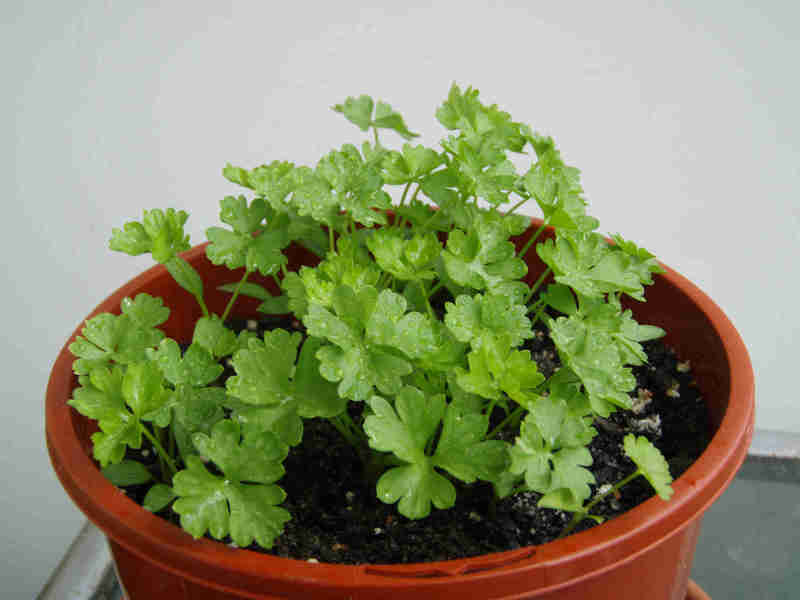 Parsley can be grown by sowing seeds indoors in early spring
