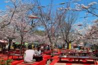 Maruyama park, Kyoto