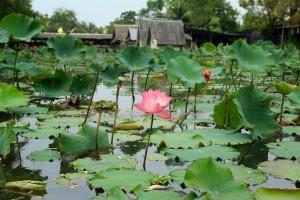 waterlilies Ubud, Bali