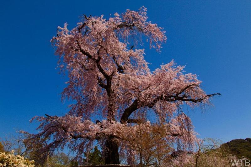 Sakura-13