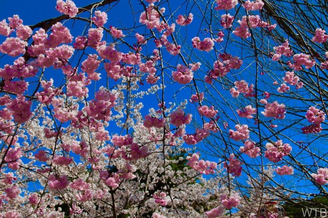 Sakura-16