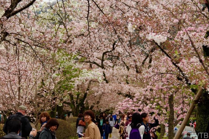 Sakura-22