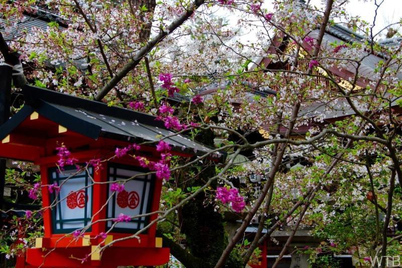 Sakura-29