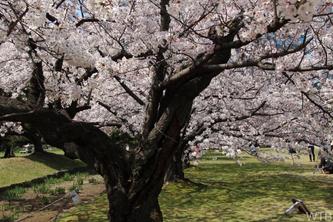 Sakura-3