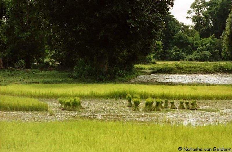 Rice plants, Laos 4000 Islands