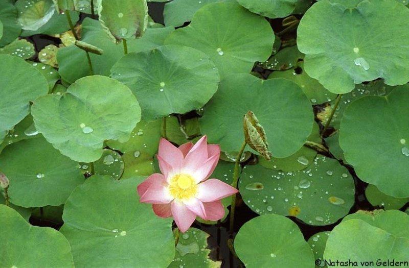 waterlily, Laos