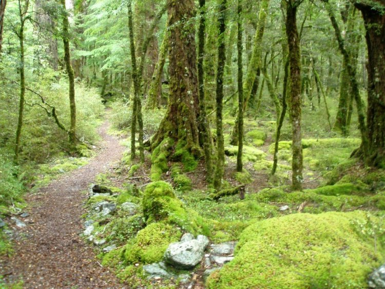 Beech forest, Dart Valley, New Zealand