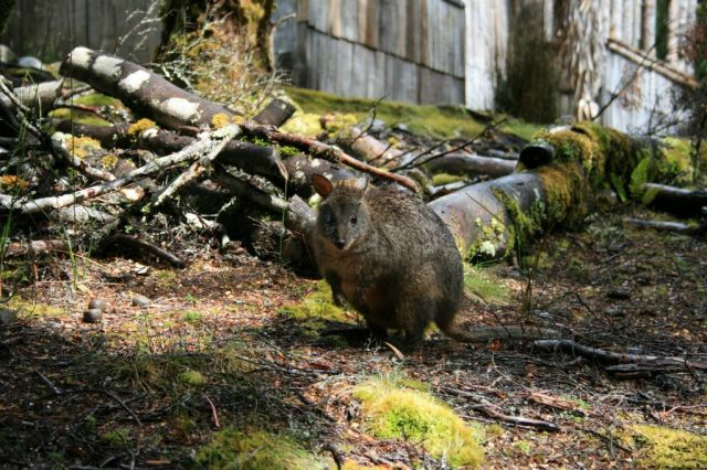 Pademelon, Tasmania