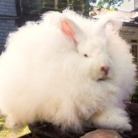 New Zealand: Angora Rabbit Shearing in Waitomo