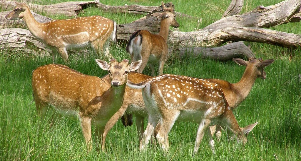 London: Thames Towpath walk - Richmond deer park