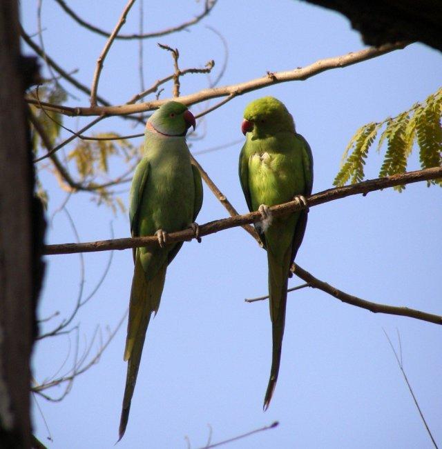Love-birds-in-the-Taj-Mahal-gardens-Agra-India