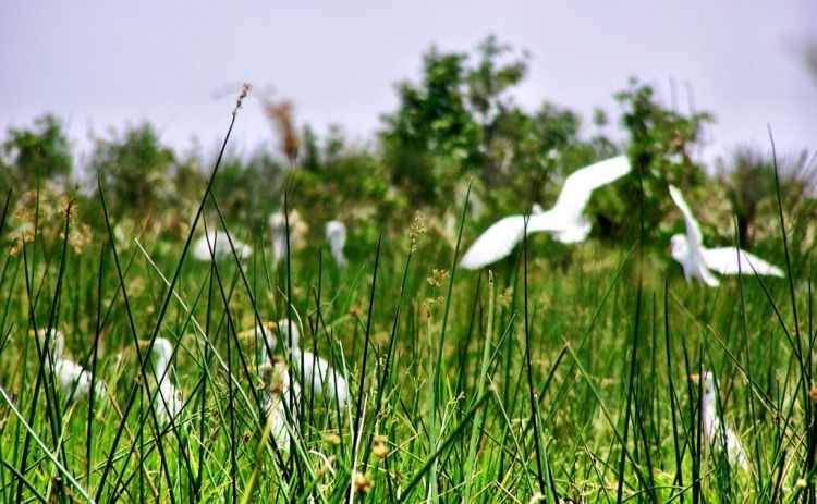Egrets in the Okavango Delta, Botswana