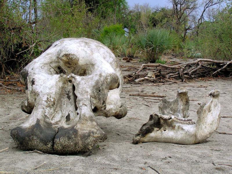 Elephant graveyard in the Okavango Delta, Botswana