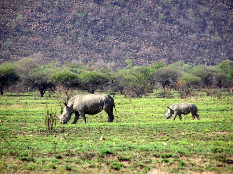 Rhino & baby, Pilanesberg South Africa