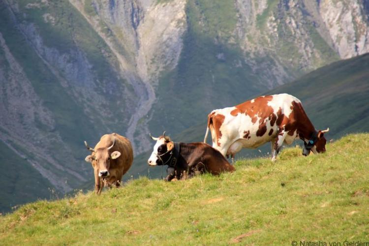 Swiss cows in the Valle Ferret, TMB hiking
