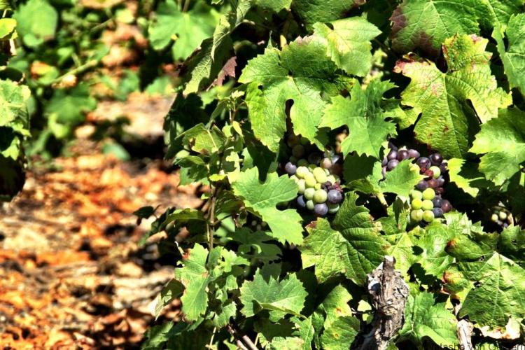 gamay-grapes-from-beaujolais-wine-region-france
