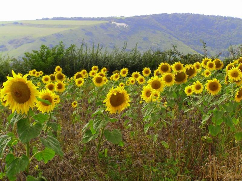 Sunflowers and a white horse on the South Downs Way hiking in England