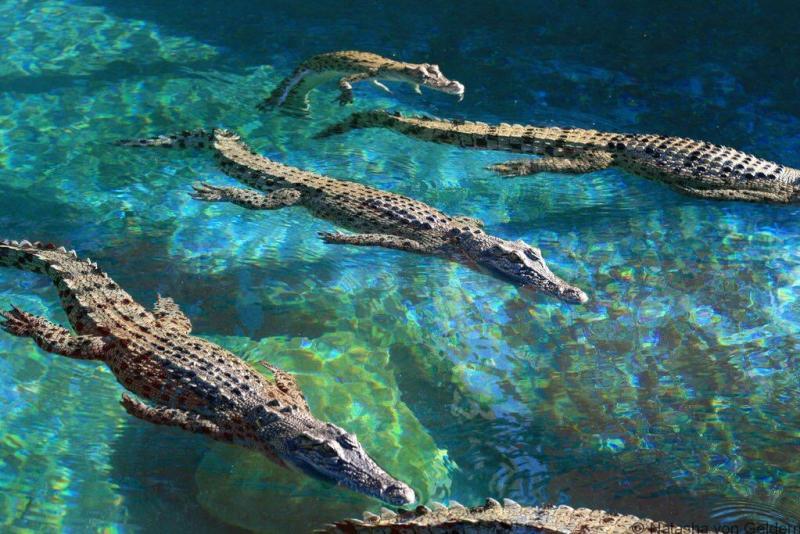 Young crocodiles Crocosaurus Cove Darwin Australia