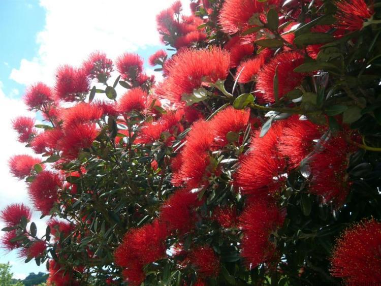 Pohutakawa-blossom-New-Zealand