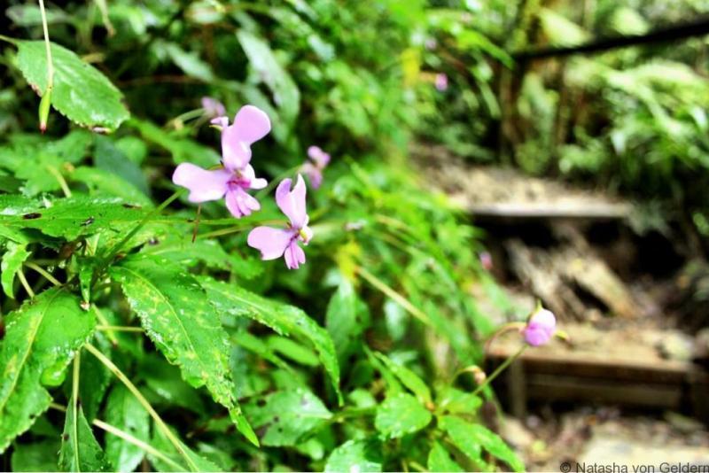 Mt Kinabalu Borneo Malaysia flowers
